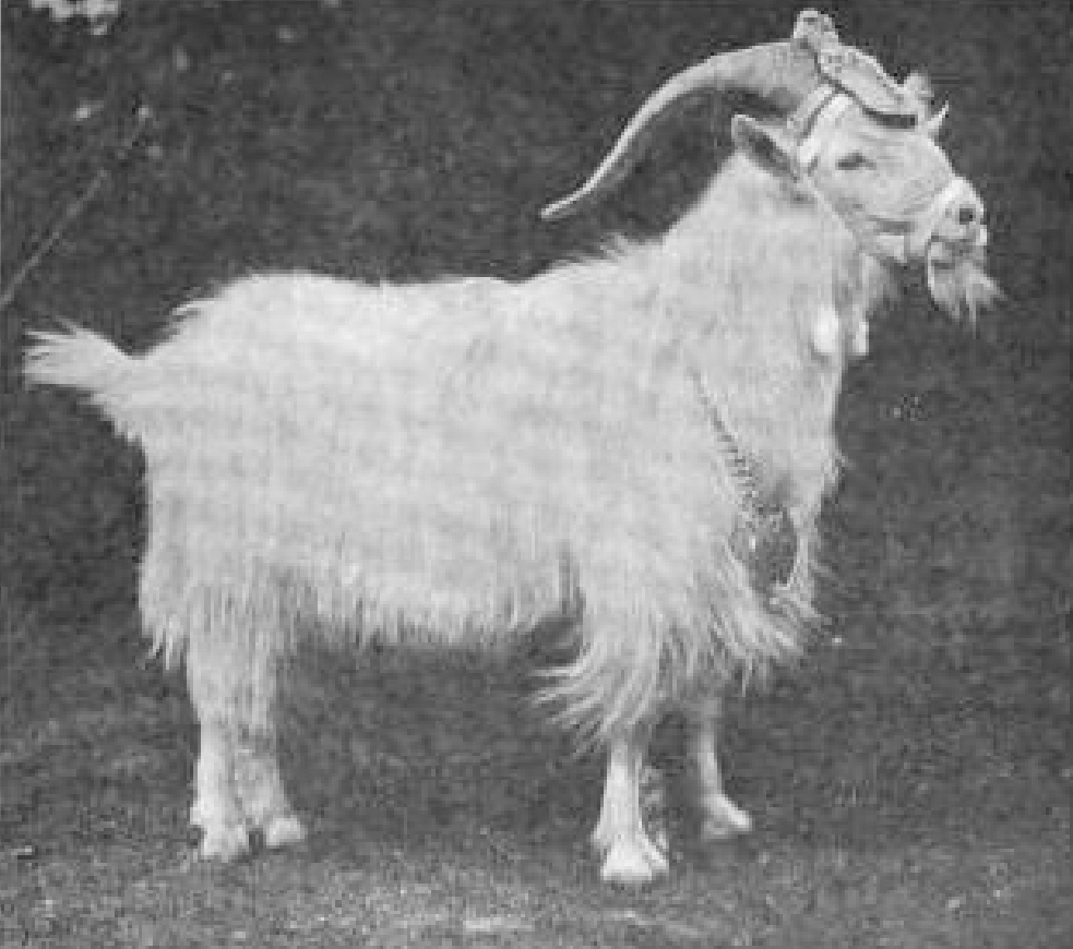 Black and white photograph of a long-haired goat, wearing a head-piece, muzzle, and a necklace, the mascot of the 23rd Regiment of the Royal Welsh Fusiliers.