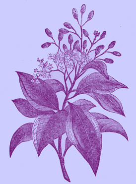 Engraving of  q branch of the Cinnamon Tree, with leaves, stems and flowers, in the botanical style of the 19th century.