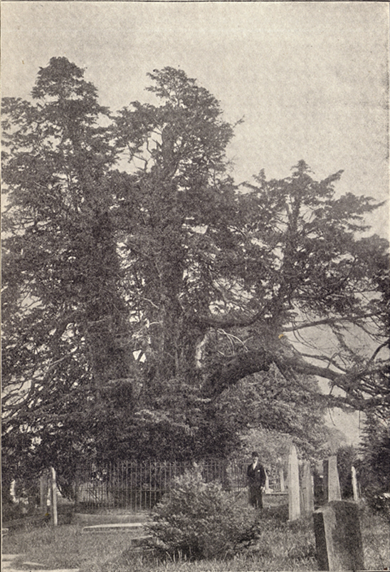 A photograph of a huge yew tree, with 3 central trunks, in a cemetery.  There is a figure in black hat and suit in the foreground amid some tombstones and grave markers, taken by Cullercoats.